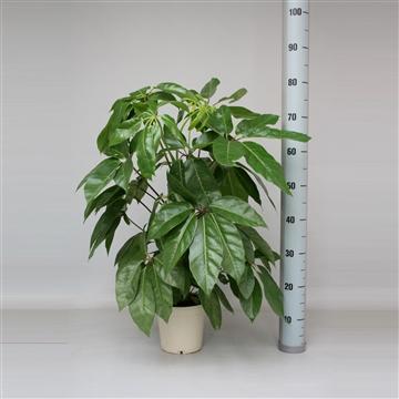 Schefflera Actinophylla Amate