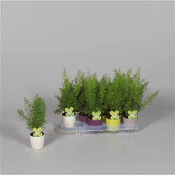 Asparagus Myers in Sara pot (Decorum)