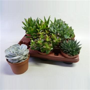 Succulenten mix 8 soorten