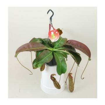 Nepenthes 'Miranda'