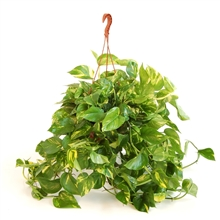 Hang planten Mix - Hang/Colgar, Scindapsus - Philodendron