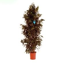 Ficus benjamina 'Danielle'