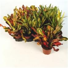 Codiaeum variegatum gemengd