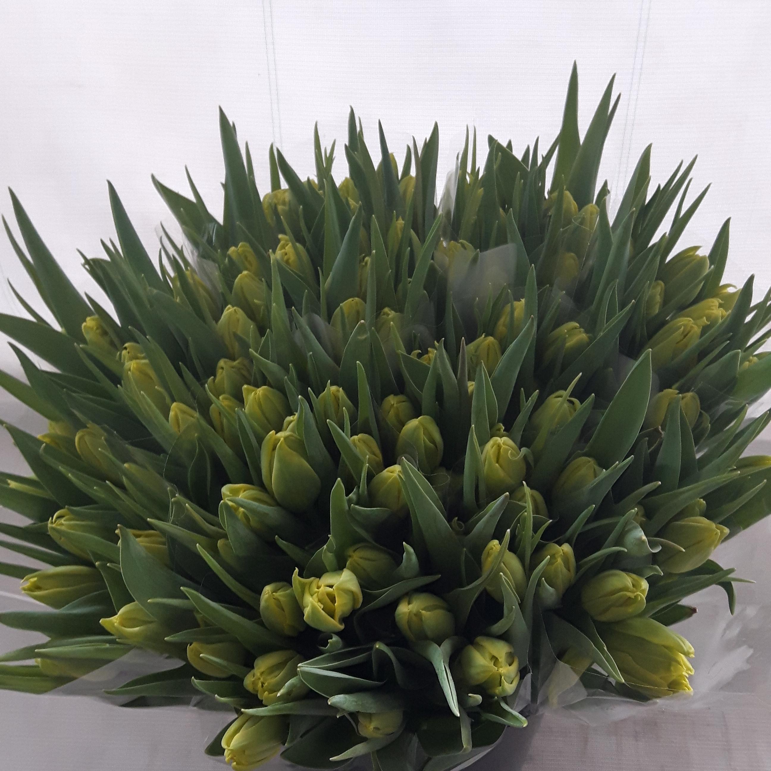 Tulp geel ingehoesd in 5 liter emmer