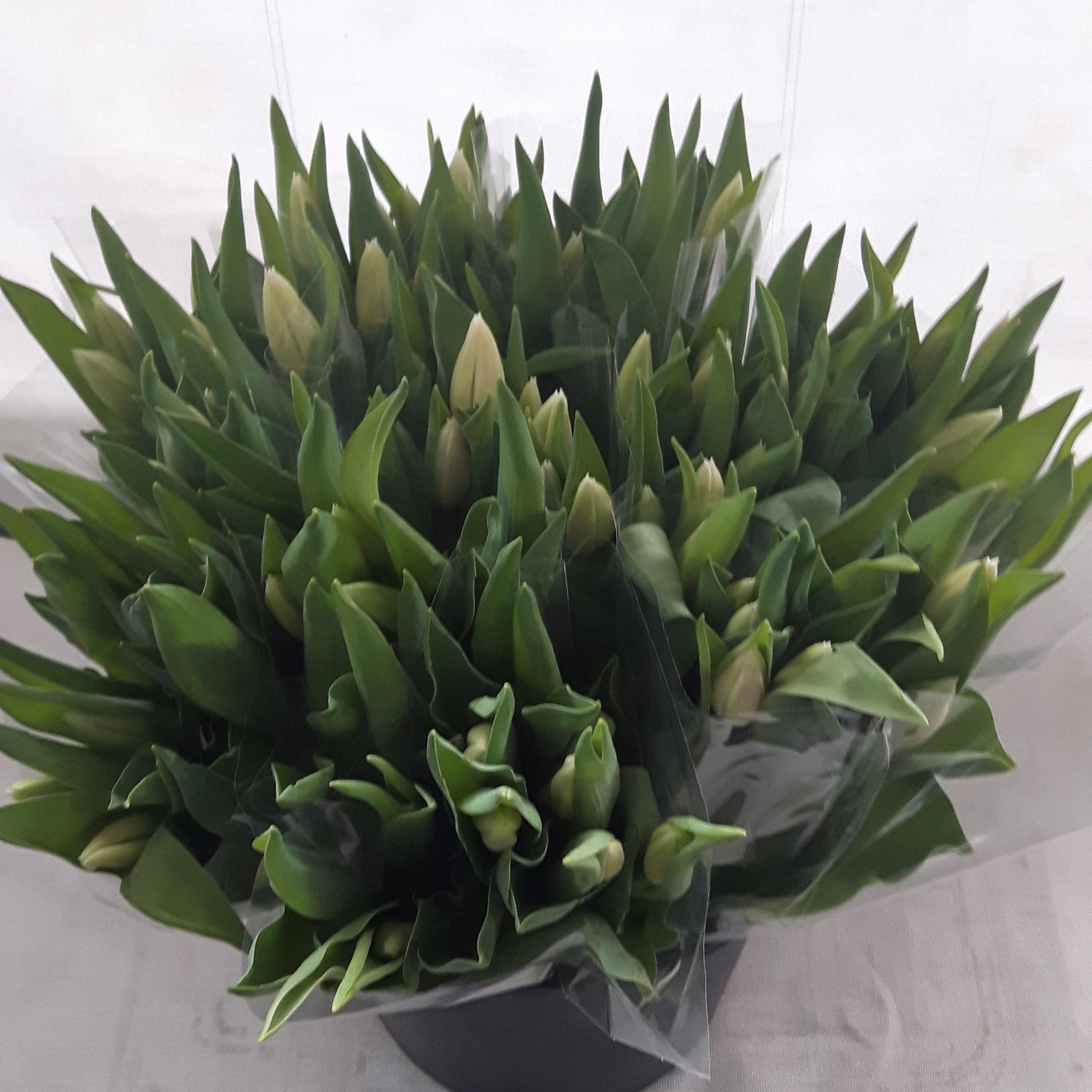 Tulp wit ingehoesd in 5 liter emmer