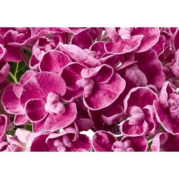 Hydrangea ONE curly wurly pink
