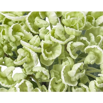 Hydrangea ONE curly wurly white