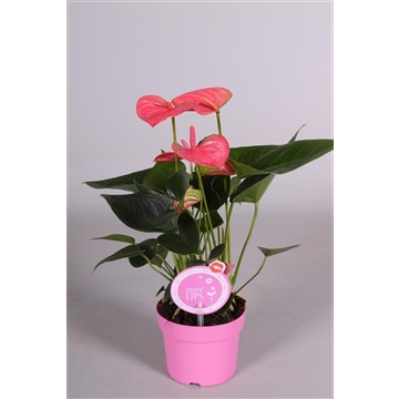 MoreLIPS® Anthurium Sweet Dream