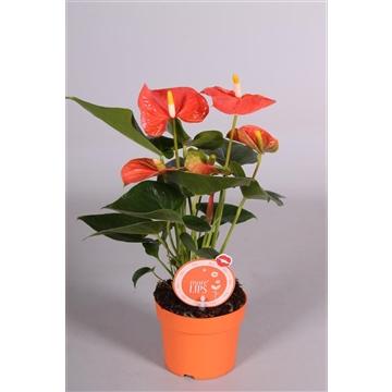 MoreLIPS® Anthurium Orange Champion
