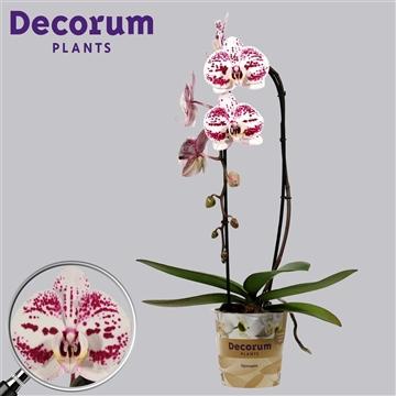 Phalaenopsis cascade 1 tak Decoration (Russia Decorum)