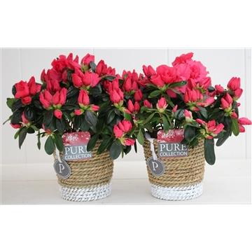 Azalea 12 cm Red in Pure Basket