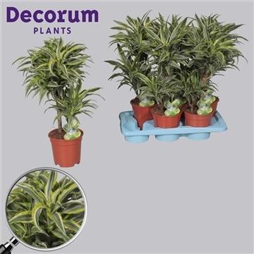 Drac Lemon Surprise 30-10 stam (Decorum)