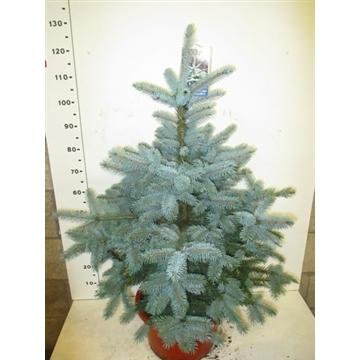 Picea pungens Super Blue 120-140 cm P38