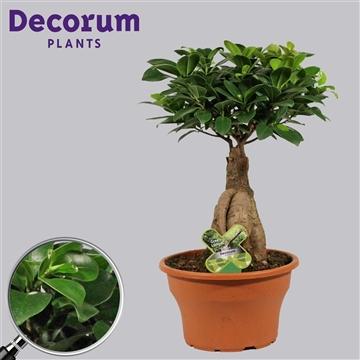 Ficus Microcarpa Ginseng geënt 19 cm (Decorum)