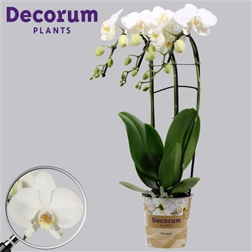 Phalaenopsis triple cascade Tropic Snowball 3 tak (Russia Decorum)
