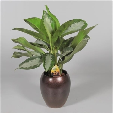 Collectie Alysia - Aglaonema Diamond Bay in vaas Talitha