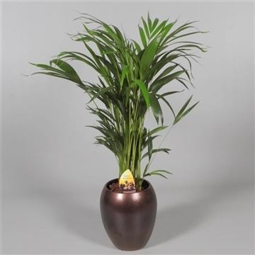 Collectie Alysia - Dypsis (Areca) 45+ zaden in vaas Talitha