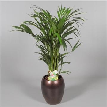 Collectie Alysia - Dypsis (Areca) 45+ zaden in vaas Talitha (Decorum)