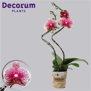 Phalaenopsis hurricane Fancy 2 tak (Russia Decorum)