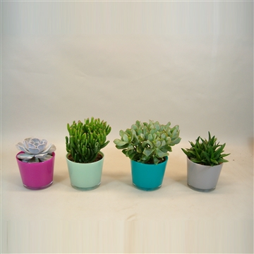 Succulenten in Glas