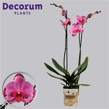 Phalaenopsis 2 tak Lightning (Russia Decorum)