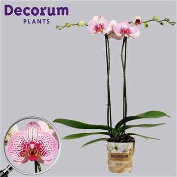 Phalaenopsis 2 tak Mansion (Russia Decorum)