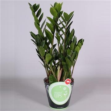 MoreLIPS® Zamioculcas Zamiifolia Zanzibar® 8+ in groene potcover
