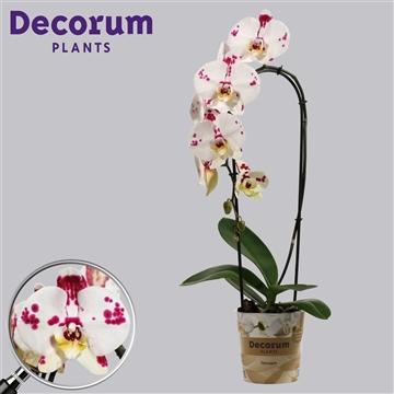 Phalaenopsis cascade 1 tak Kellion (Russia Decorum)