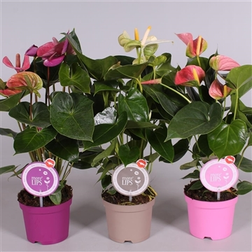 MoreLIPS® Anthurium mix (roze-wit-paars)