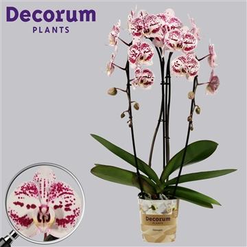 Phalaenopsis cascade 2 tak Decoration (Russia Decorum)
