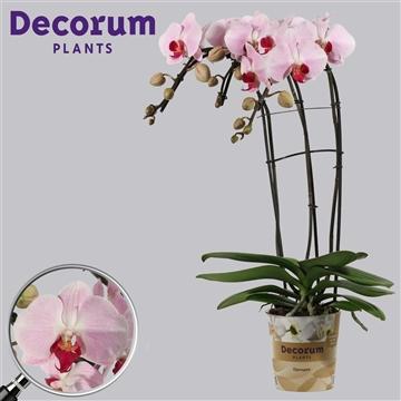 Phalaenopsis triple cascade Cyrene 3 tak (Russia Decorum)