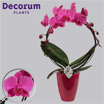 Phalaenopsis boog 2 tak paars in Carly (Decorum)