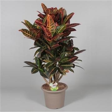 Croton Petra vertakt in deco pot 100-110 cm (RUSSIA)
