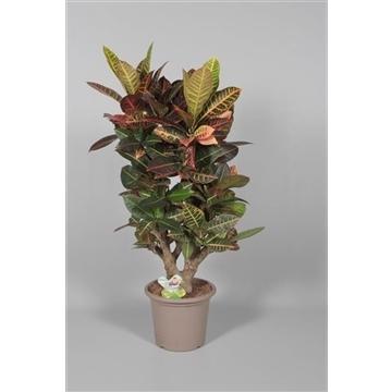 Croton Petra vertakt 100-110 cm in deco pot (Decorum)