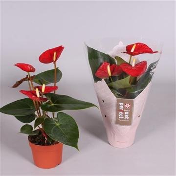 Anthurium Almera ''Just perfect®'' (XL-Flowers)