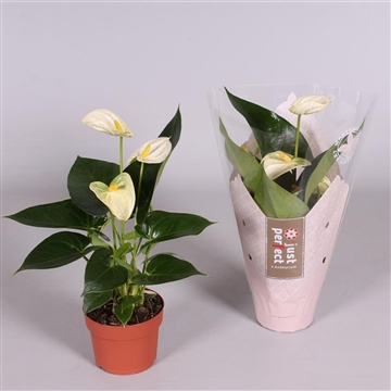 Anthurium Bianco ''Just perfect®'' (XL-Flowers)