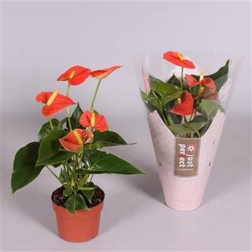 Anthurium Orange Champion ''Just perfect®'' (XL-Flowers)