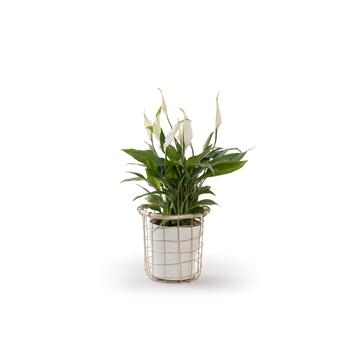 Precious - Spathiphyllum 13 cm 'Bellini' in pot Precious