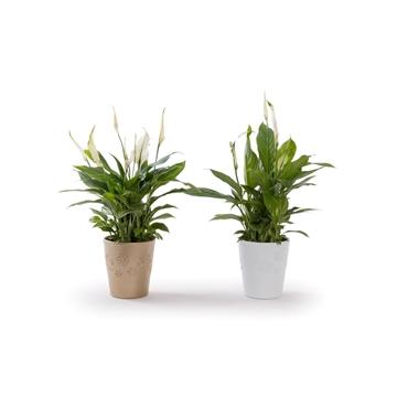Precious - Spathiphyllum 13 cm 'Bellini' in pot Zoë