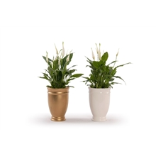 Artikel #238497 (WWW12013PRE: Precious - Spathiphyllum 13 cm 'Bellini' in pot Roma )