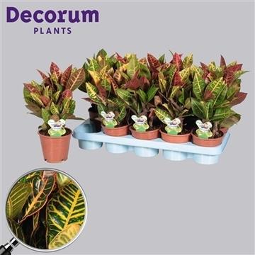 Croton Petra vertakt (Decorum)