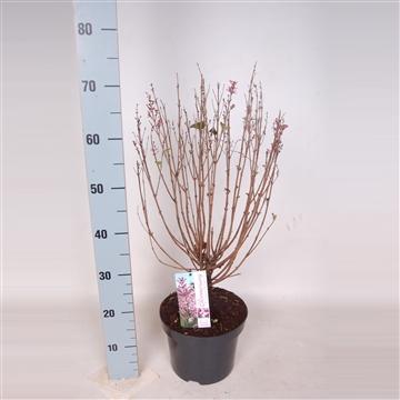 Syringa Bloomerang Pink Perfume 50-60 C5