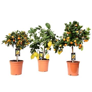 Citrus Mix 3 Soorten