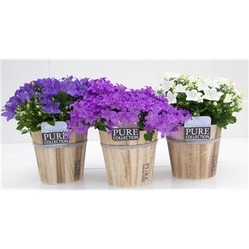 Campanula Mix Pure Coll. Wood