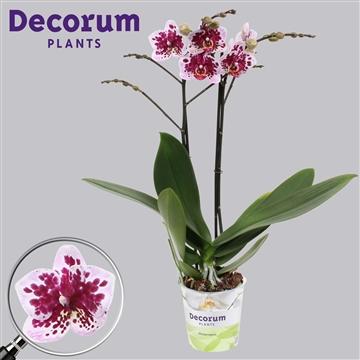 Phalaenopsis 2-Tak multi Rembrandt 50 cm