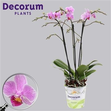 Phalaenopsis 3-tak multi suggestion 50 cm
