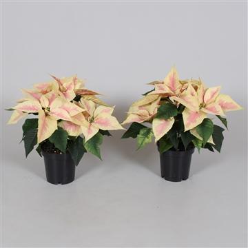 + 4  bloemschermen