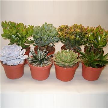 Succulenten mix 7 Soorten