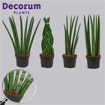 Sansevieria cylindrica 11 cm mix (Decorum)