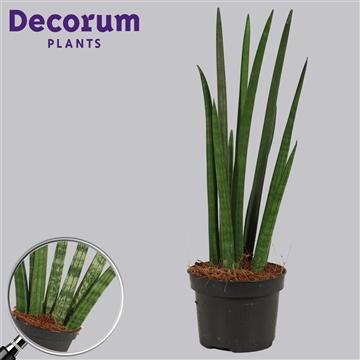 Sansevieria cylindrica 11 cm Rocket (Decorum)